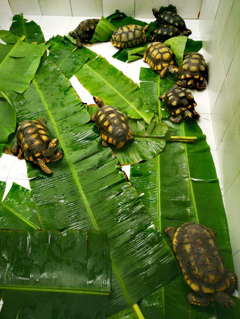 Tortugas rescatadas en el centro de rescate amazónico
